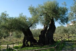 olivo-santemiliano
