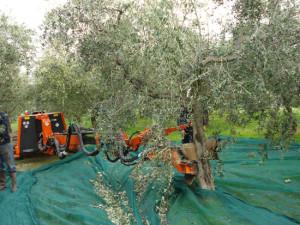 olive-raccoglitori