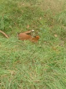 Il povero animale rinvenuto con la zampa ancora intrappolata nella tagliola dai volontari della WildUmbria